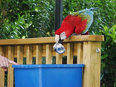 Parrot recycling a can