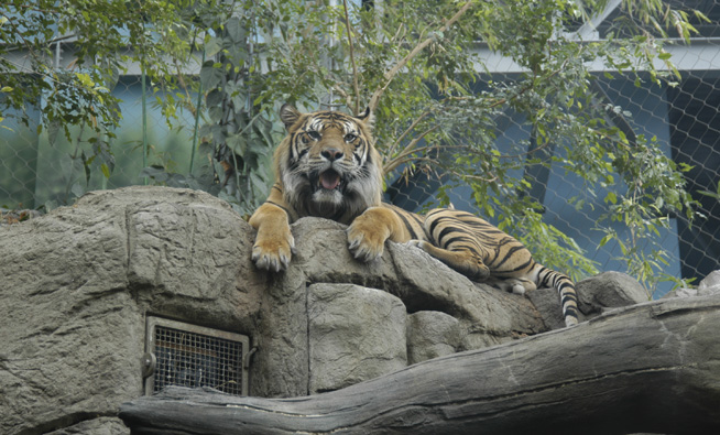 Tiger exhibit