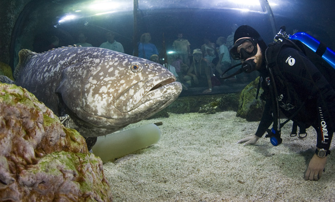 Giant grouper fish