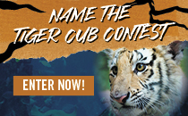 Tiger Club Contest